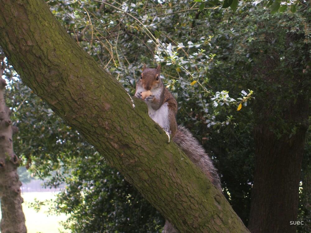 Squirrel by suec