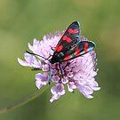 Six-spot Burnet Moth by hummingbirds