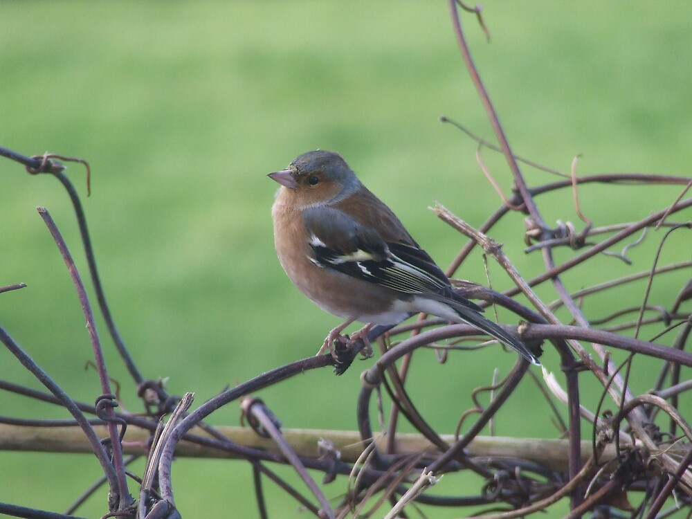Chaffinch by Mark  O'Mahony