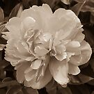 Vintage Peony Bloom by Jacqueline Cooper