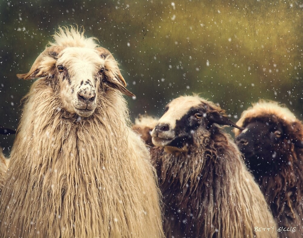 latte in snow by Texas Sheepdogs