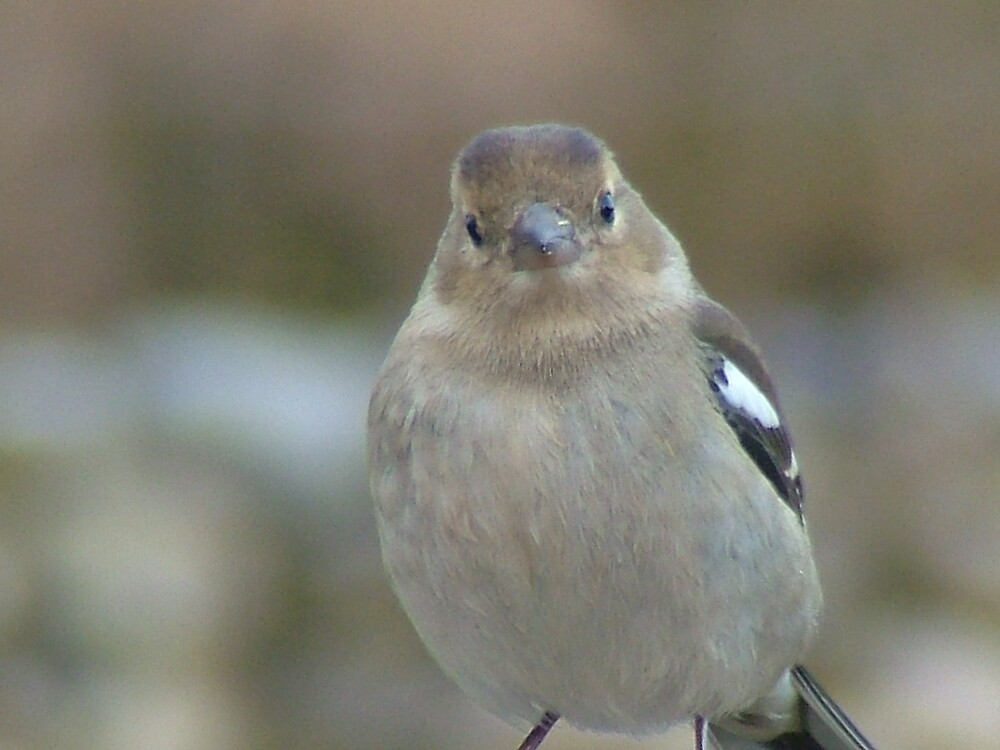 Female Chaffinch by Mark  O'Mahony