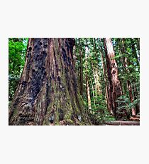 Henry Cowell - Redwoods Photographic Print