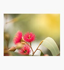 Red Eucalyptus in Autumn  Photographic Print