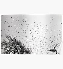 Starlings in B&W Poster
