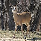 White-tailed Deer in Spring by hummingbirds