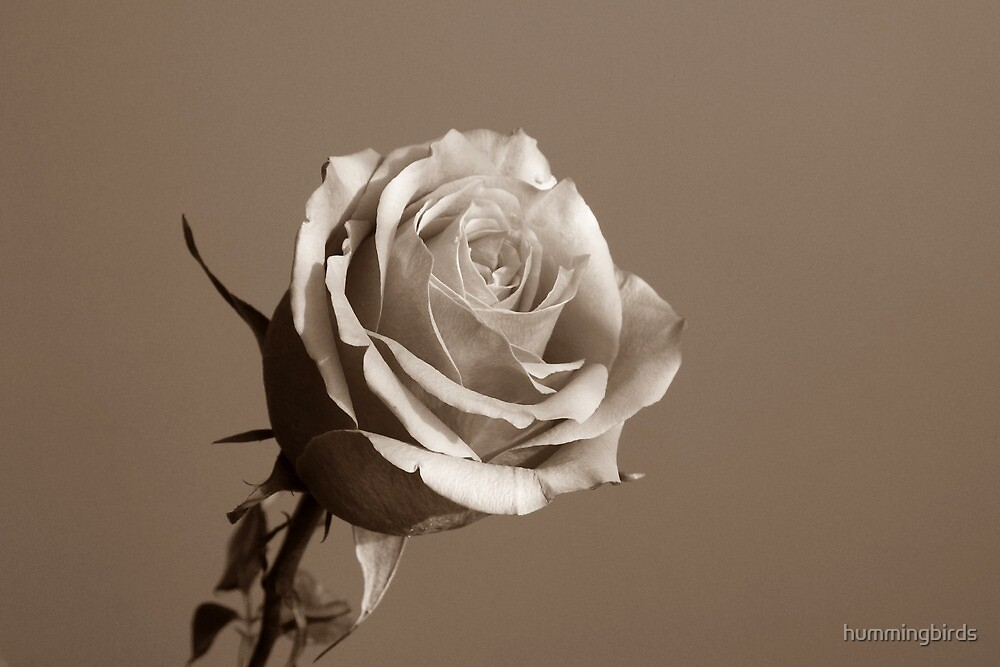 Sepia Rose by hummingbirds