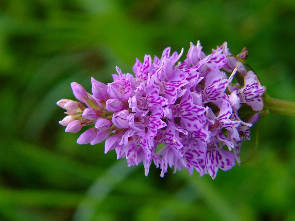 Pink Marsh Orchid by Mark  O'Mahony