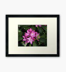 Sunlit Rhodo Blossoms Framed Print