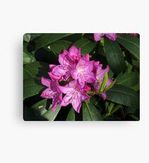 Sunlit Rhodo Blossoms Canvas Print