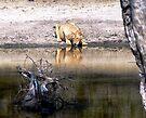 Lion at the Waterhole by Graeme  Hyde