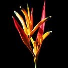 Parakeet Heliconia by hummingbirds