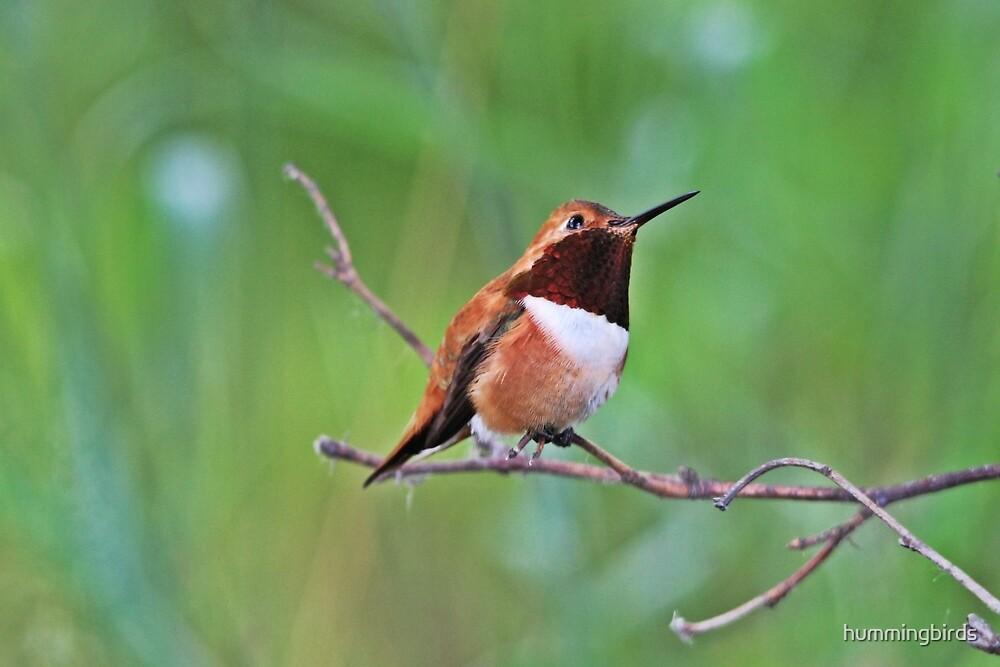 Male Rufous Hummingbird by hummingbirds