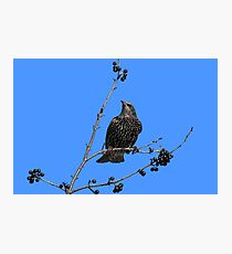 Starling in fall with berries Photographic Print