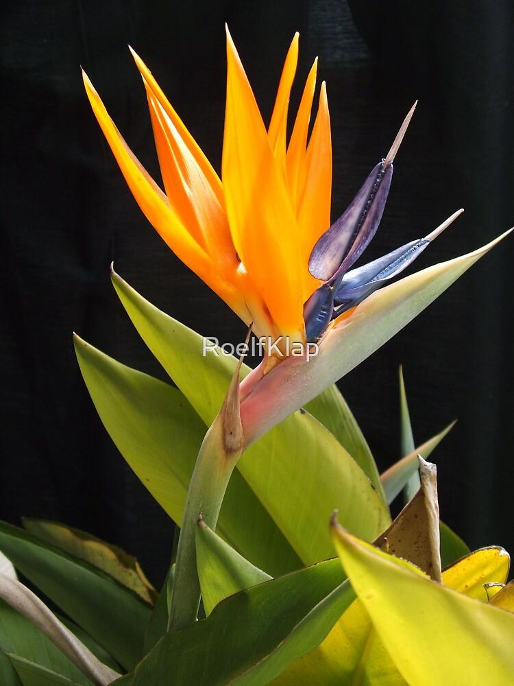 Bird of paradise by RoelfKlap