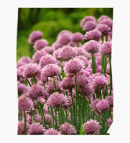 Chives in My Garden  Poster