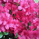 Red-Pink Azaleas by Jane Neill-Hancock