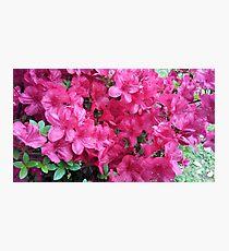 Red-Pink Azaleas Photographic Print