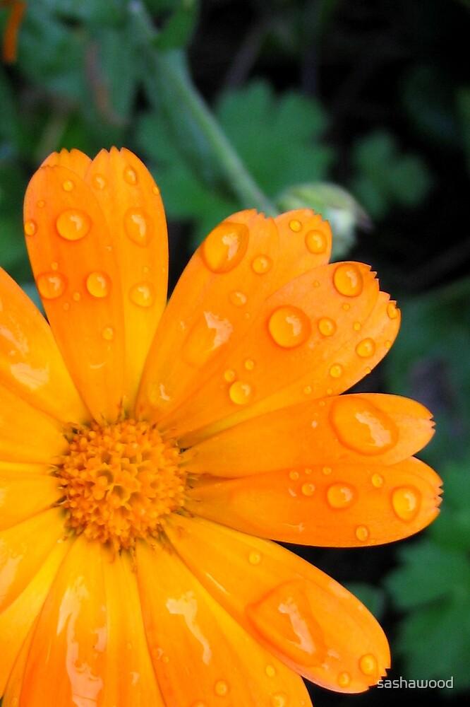orange daisy by sashawood