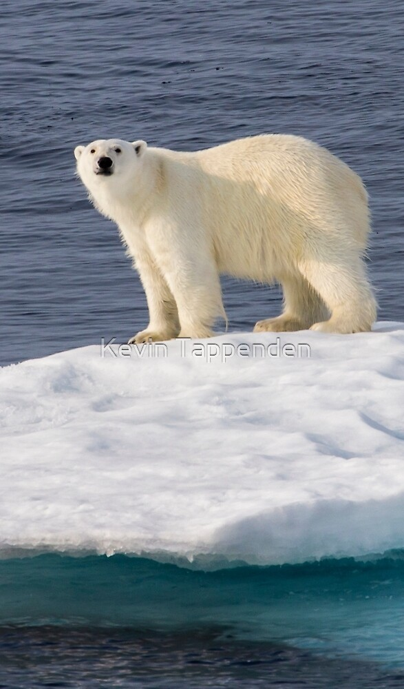 Polar Bear on Ice by Kevin Tappenden
