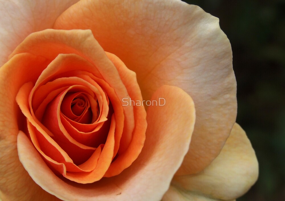 Spiraling Rose by SharonD