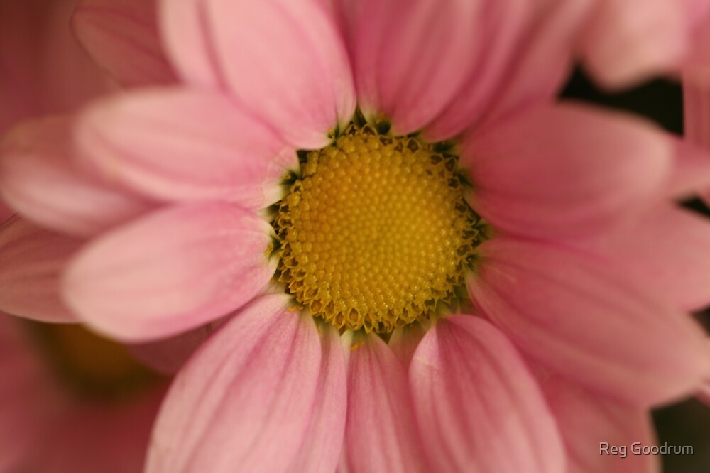 Pink Daisy by Reg Goodrum
