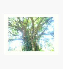 Ficus Natalensis Art Print