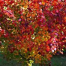 1665 All Autumn colours on one tree by Hans Kawitzki