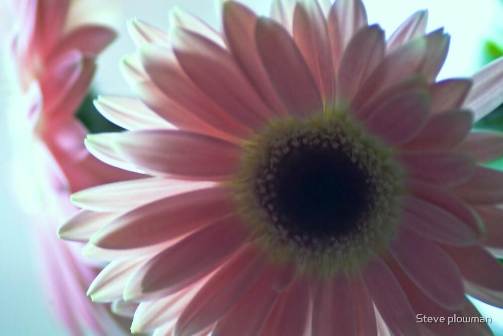 Gerbera in soft pink by Steve plowman
