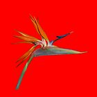Red Bird of Paradise by JayVee