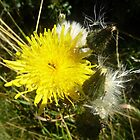 The Humble Dandelion by Sue Gurney