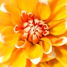 Creamsicle Dahlia by alan shapiro
