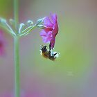 """ Sleeping Bee & Rose Campion "" by Richard Couchman"