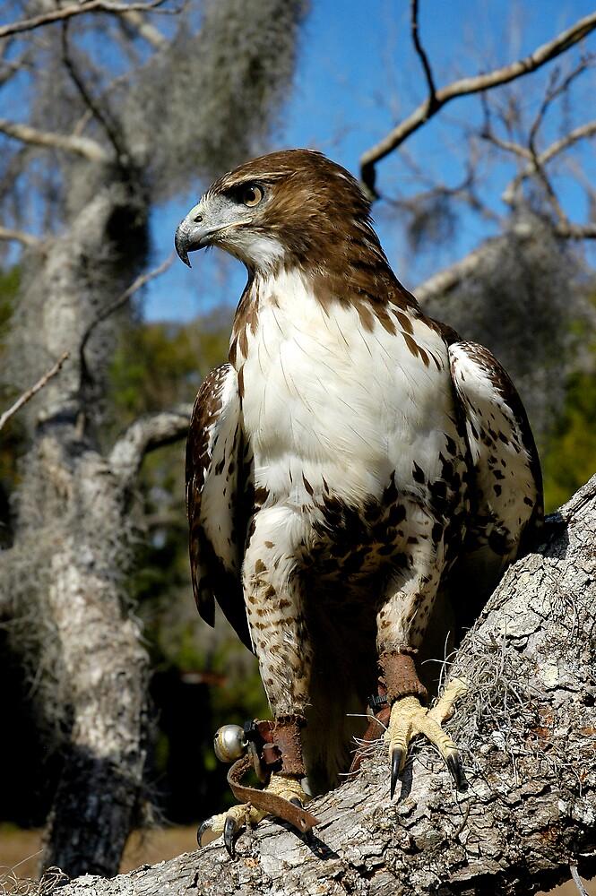 Red Tail Hawk by Scott Hansen