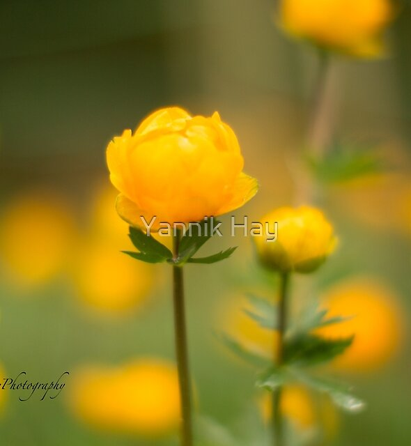 Yellow bud von Yannik Hay