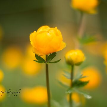 Yellow bud by Photograph2u