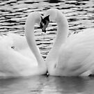 Love Heart Swans by carlyhodges