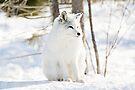 Little Arctic Fox Posing! by Yannik Hay