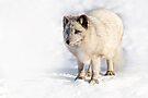 Arctic Fox by Yannik Hay
