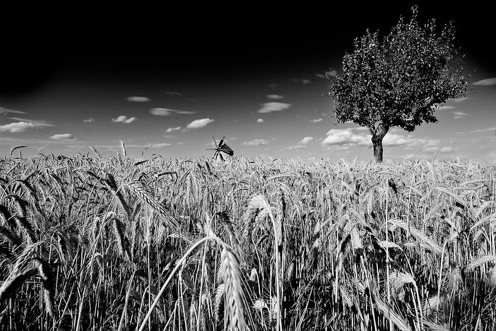 Wheat by Csaba Jekkel