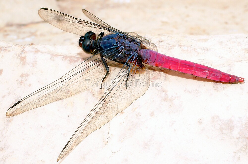 DRAGON FLY IN INDIA by Terry Lynn Reimer
