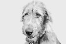 Wolfhound puppy by Laurie Minor