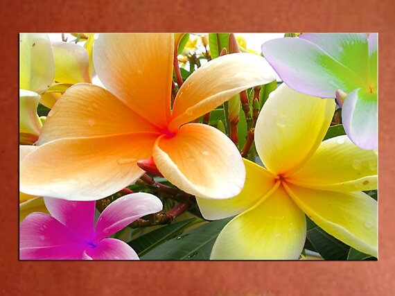 """""""Frangipani Sunset"""" by thegallery"""
