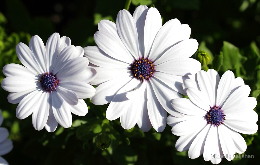 Purple and White Daisys by Michelle Callahan