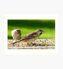 Always Be Alert! - House Sparrows - NZ Art Print