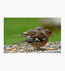 You Make It Look So Easy! - Chaffinch & Sparrow - NZ Photographic Print