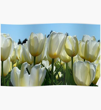Heaven On Earth! - White Tulips - Rural New Zealand Poster