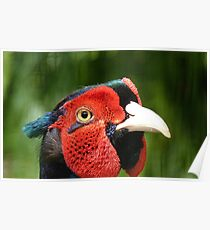 Now Thats Close Enough Lady! - Common Pheasant - NZ Poster