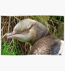 Do I Look Grumpy? - Rare Yellow Eyed Penguin - NZ Poster