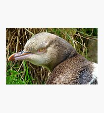 Do I Look Grumpy? - Rare Yellow Eyed Penguin - NZ Photographic Print